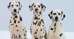 Dalmatinci